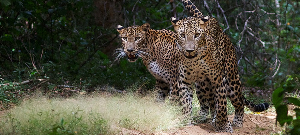 スリランカ最大<ウィルパットゥ国立公園>